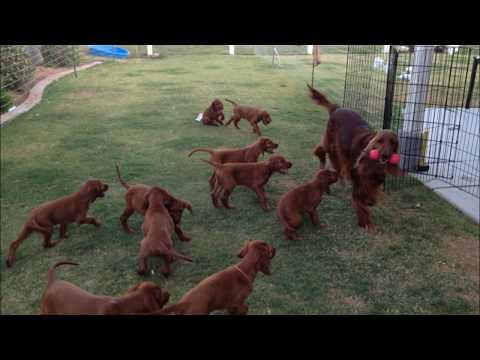 Irish Setter Puppies!