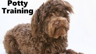 How To Potty Train A Schnoodle Puppy - Schnoodle House Training - Housebreaking Schnoodle Puppies