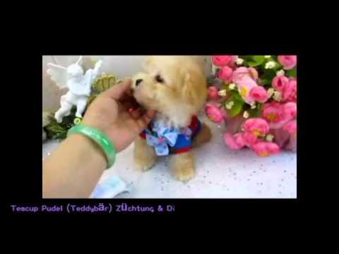 apricot teacup pudel teddy bear youtube. Black Bedroom Furniture Sets. Home Design Ideas