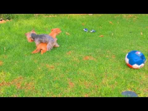 I caughts my dog jumping a puppy!