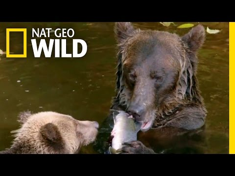 Cub's First Salmon Run | Destination WILD