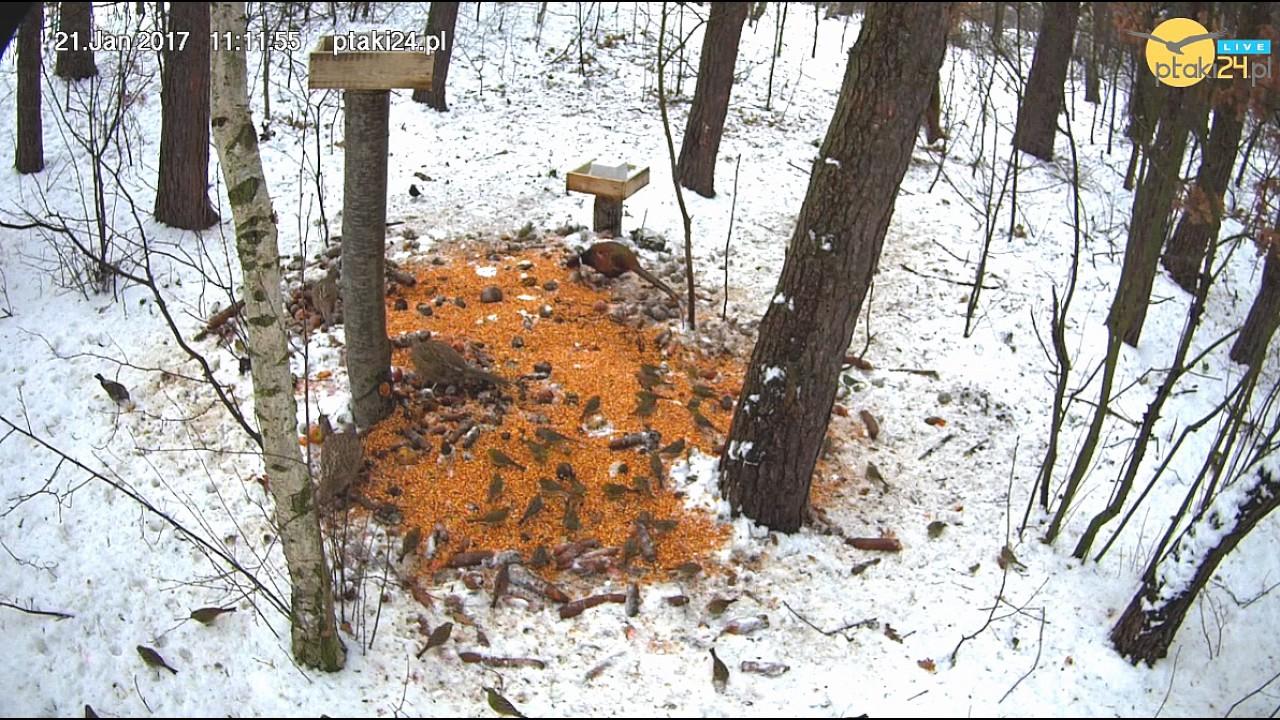 Bażancia rodzina i inne ptaki w karmisku w lesie na Podkarpaciu