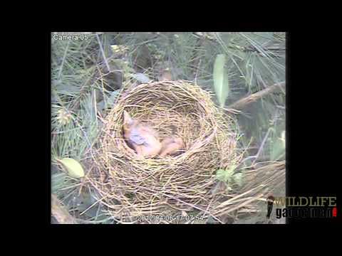 Sparrowhawk Blackbird Predation 060412