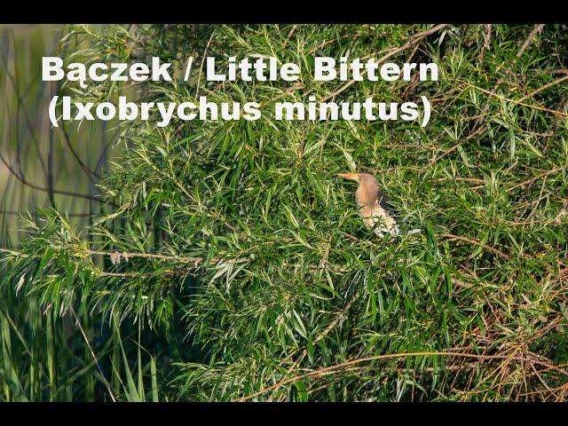 Bączek / Little Bittern / Ixobrychus minutus | fotografuj #zemną