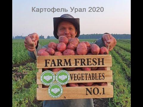 Первый картофель.Урожай 2020