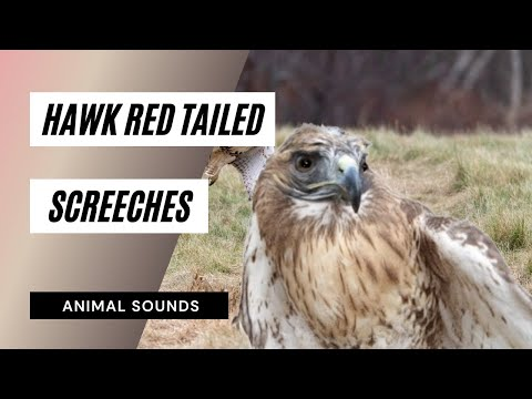The Animal Sounds: Hawk Red Tailed  Screeches - Sound Effect - Animation