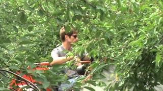 Cherry Harvest 07