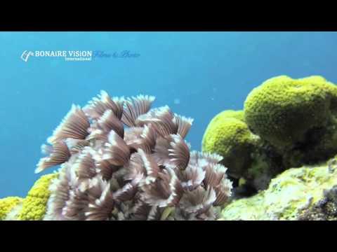 Bonaire - Divi Flamingo Beach Resort & Casino  | Bonaire Vision Films   Bonaire Marine Park trailer