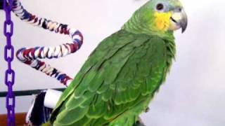 Amazon Parrot With a Broken Leg