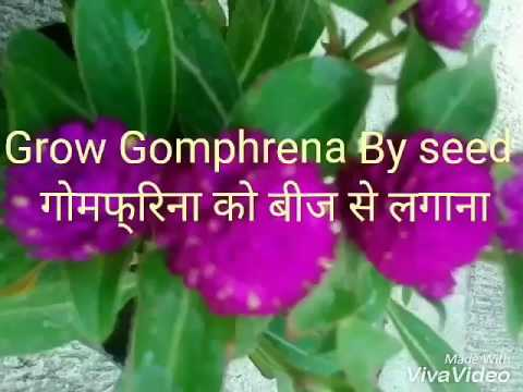 NO-50 How To Germinate/grow Gomphrena Globosa/Globe Amaranth/Bachelor Button By Seeds (Hindi/Urdu)