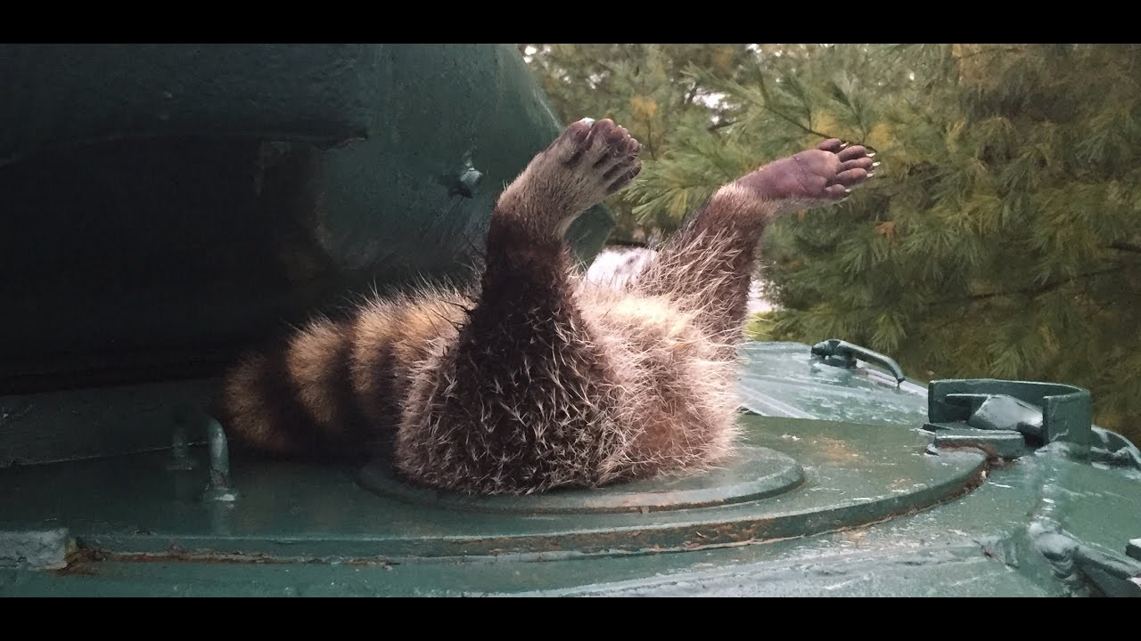 Image result for raccoon stuck in a tank