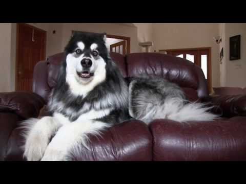 Alaskan Malamute Owns Couch