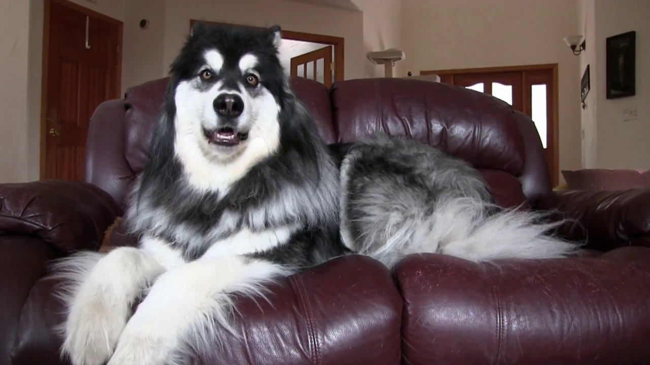 Alaskan Malamute Owns Couch - YouTube