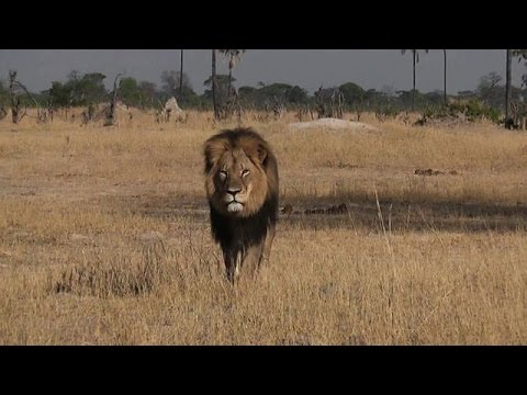 Zimbabwe park authorities defend legal lion hunting
