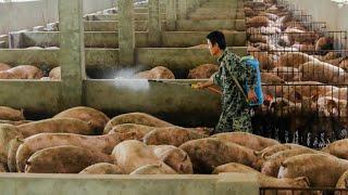 De ce mor porcii din China?