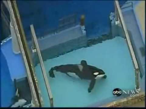 Killer Whale Kills Trainer Footage - Disturbing Scenes