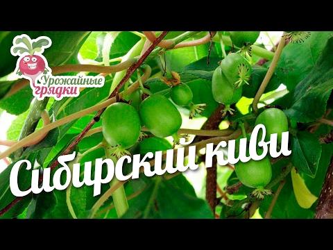 Сибирский киви #urozhainye_gryadki