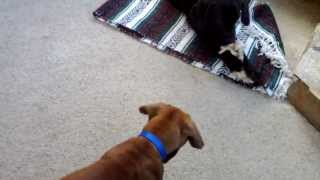 "This is a video of Tosa Inu (土佐犬) puppy ""Musashi"" meeting Tosa I..."