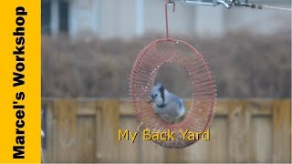 Bluejay On A Peanut Wreath Feeder - In My Back Yard