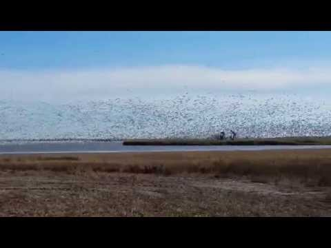 Snow Geese migrating in Saskatchewan 2015 10 06