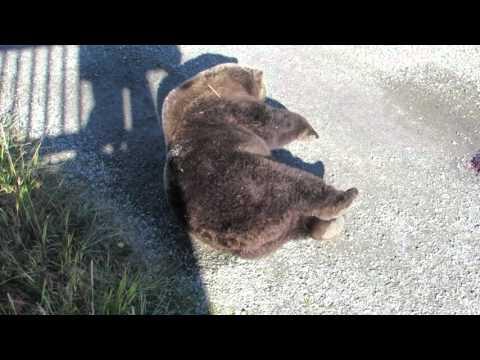 Katmai Bear 410 rolls around on ground