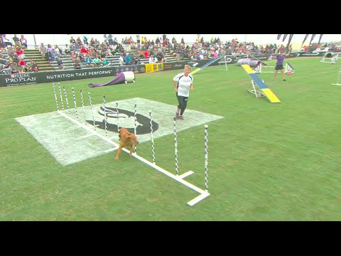 Thumbnail: Large Dog Agility Competition - 2016 Purina® Pro Plan® Incredible Dog Challenge® Western Regionals