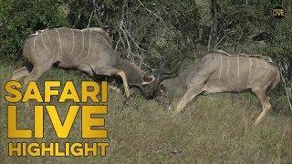 Kudu bulls clash in epic battle thumbnail