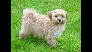 Порода собак Мальтипу - Описание