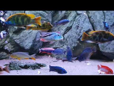 How Colorful Can Be A Malawi Cichlids Fish Tank?