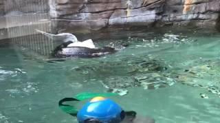 Otter kills seagull in Seattle Aquarium!! Part 1
