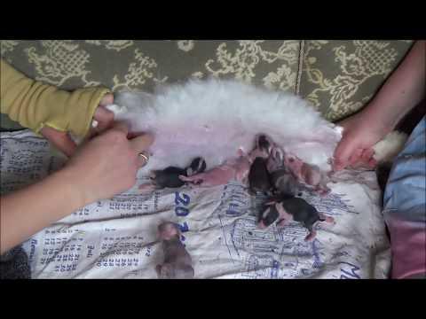 Что делать если крольчиха раскидала и не кормит крольчат! Кролики и кролиководство, крольчата