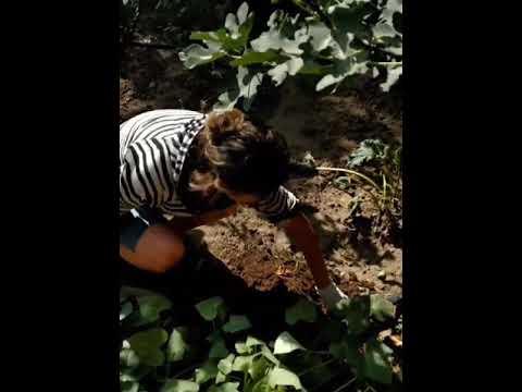 Первый опыт выращивания батата, сбор урожая