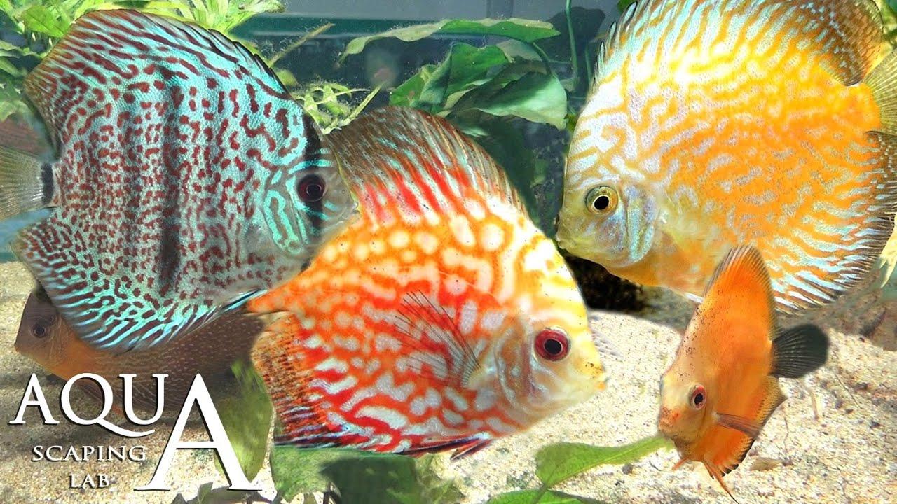 Aquascaping lab discus symphysodon fish heckel fish for Pesce discus