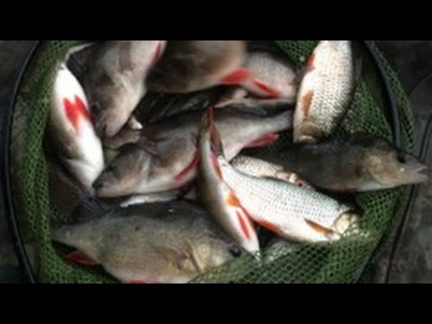 Pole Fishing For Roach And Perch On The Basingstoke Canal