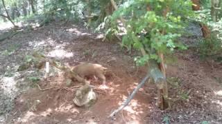兵庫県但馬地方の山の中に小さな猪が捕まってました https://youtu.be/n...