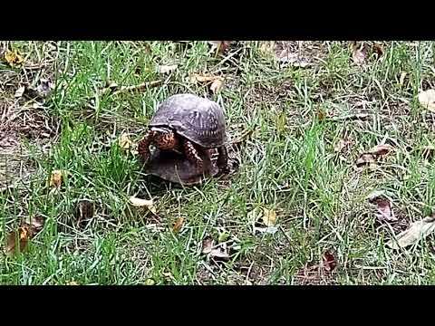 Breeding Box Turtles