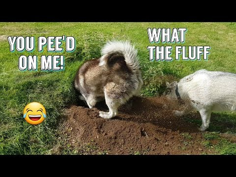 Husky Wee's On Malamute As PAY BACK | HILARIOUS