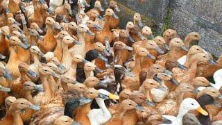 Ribuan Bebek Demo ke Sawah ( Potong Bebek Angsa lagu anak indonesia )