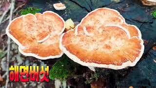 #121. 야생식용버섯 약60가지, 겨울철 팽이버섯, …