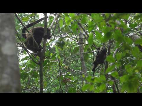 Congo monkeys (Mantled Howler) - Manuel Antonio park - Costa Rica  - 4k