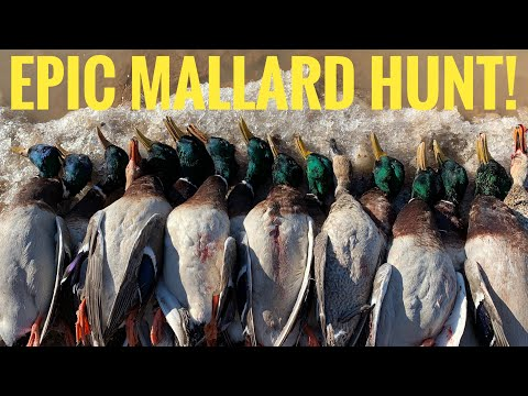 Best Mallard Hunt Of 2020!