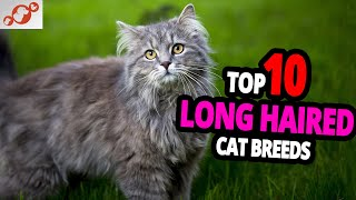 LongHaired Cats  TOP 10 Most Beautiful Long Haired Cats In The World!