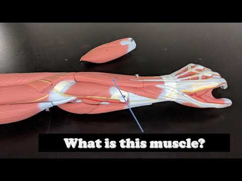 Arm Muscles Anatomy Virtual Practical Exam Muscle Models