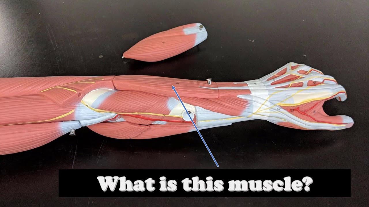 Arm Muscles Anatomy Virtual Practical Exam Muscle Models Youtube