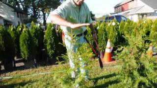 How we trim and care for Arbor vitae