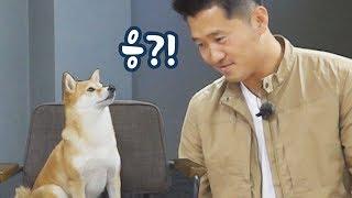 """개통령을 당황시킨 시바견 곰이 ㅋㅋ (강형욱 훈련사님의 """"견종백과 시바견편"""" 촬영하고 왔어요)"""