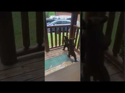 Bear Cubs Engage in Playful Fisticuffs