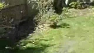 Westie Puppy Barking At Fence.