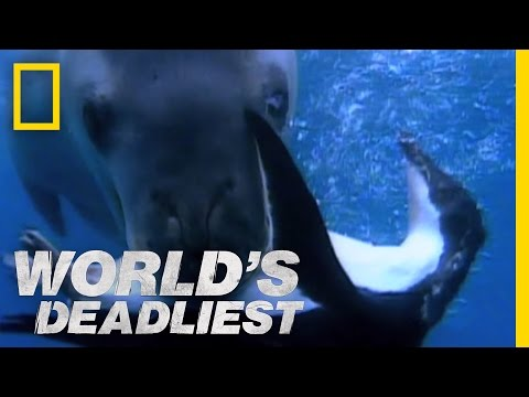 World's Deadliest - Seal vs. Penguin