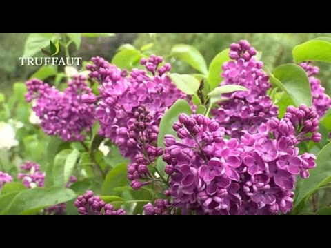 comment tailler le lilas ? - jardinerie truffaut tv - youtube